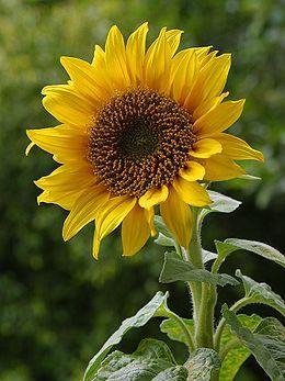 260px-a_sunflower.jpg
